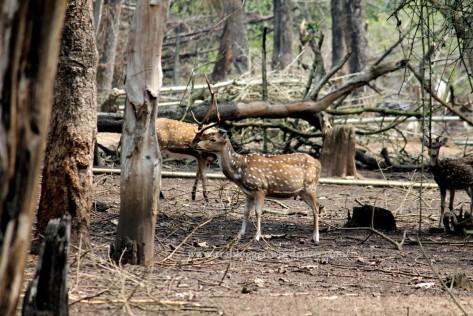 deer nisargadhama
