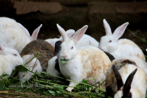 rabbit, nisargadhama, coorg