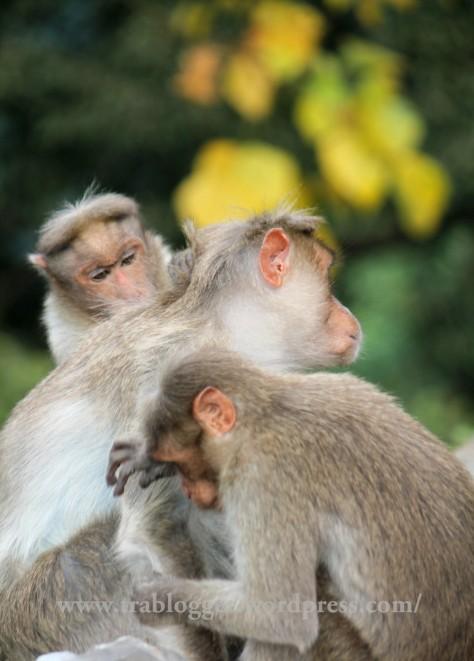 Monkeys rule the road side