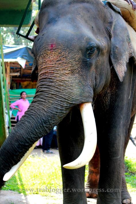 tusker, elephant, nisargadhama, coorg