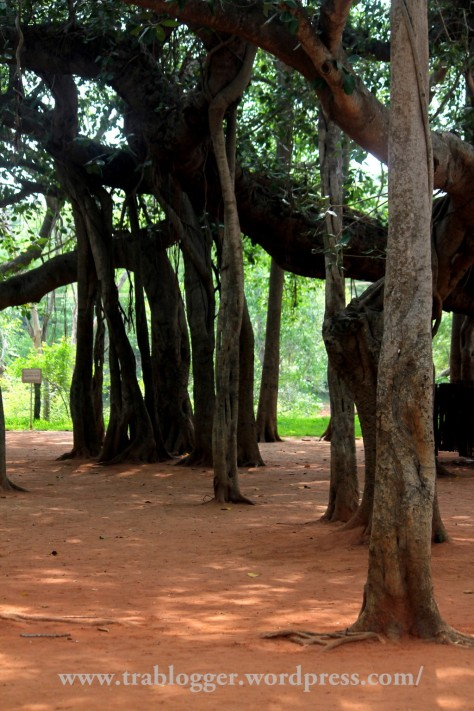 Banyan trees of Auroville