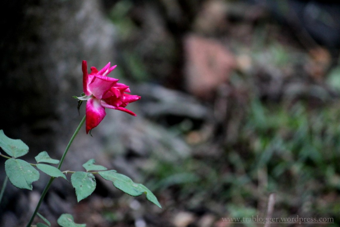 The once lovely rose